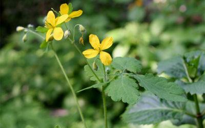 Celidonia (Chelidonium majus)