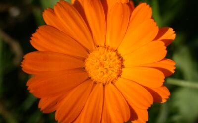 Die Heilpflanze: Ringelblume