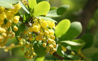 Heilpflanze: Berberitze