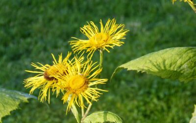 La pianta medicinale speciale: Inula