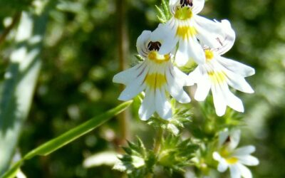 Die Heilpflanze: Augentrost