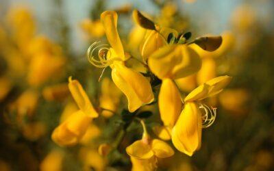 La pianta medicinale: Ginestra