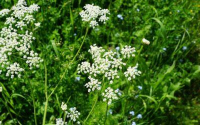 Heilpflanze des Monats: Bibernelle