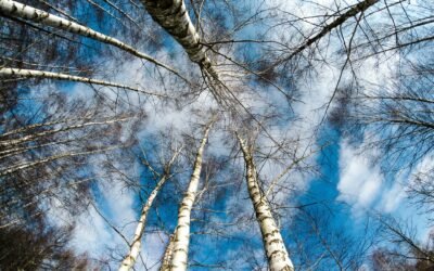 La betulla: un albero sano