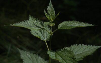 La pianta del mese: Ortica