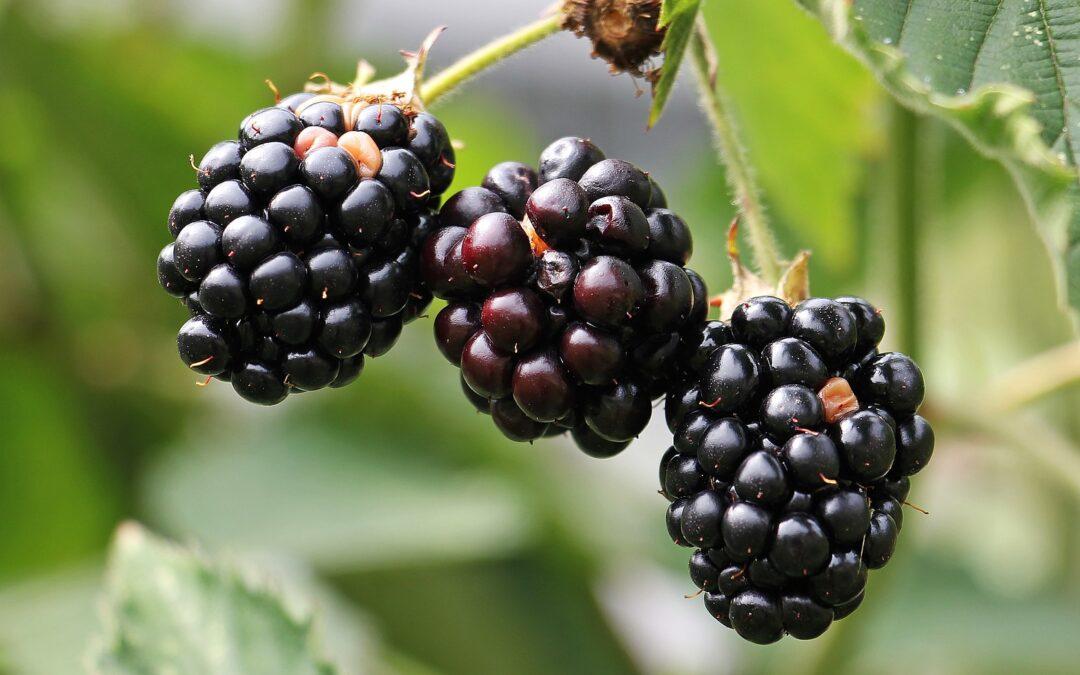 Mora un frutto sano