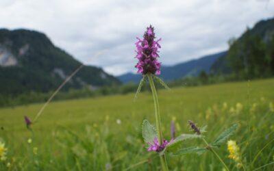 Heilziest ist eine bedeutende Pflanze in der Pflanzenheilkunde