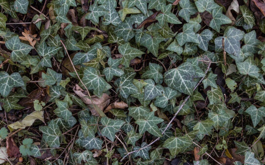 Efeu weitaus mehr als nur eine Kletterpflanze