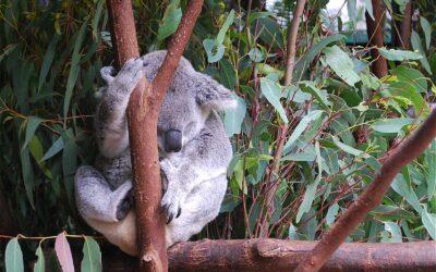 Der Wunderbaum: Eukalyptus