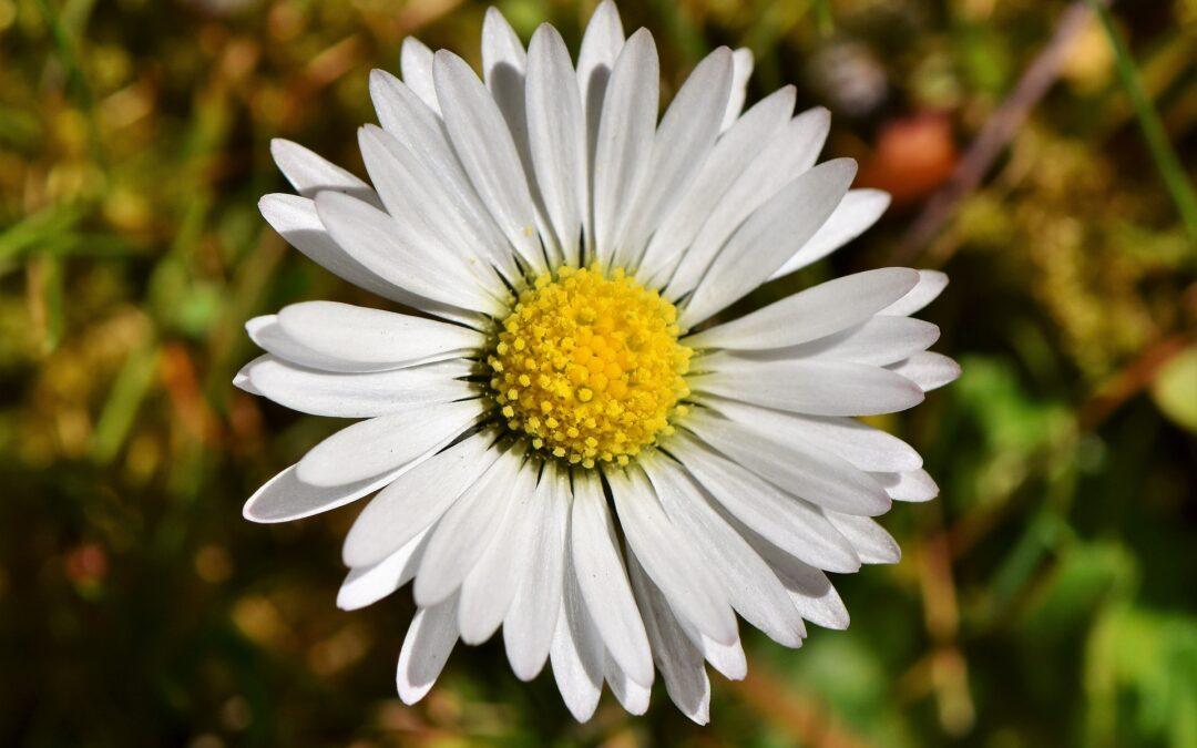 Die Bedeutung des Gänseblümchens in der Pflanzenheilkunde