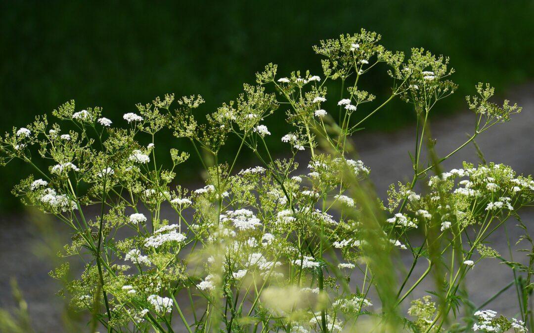 Heilpflanze des Monats: Gewöhnlicher Giersch