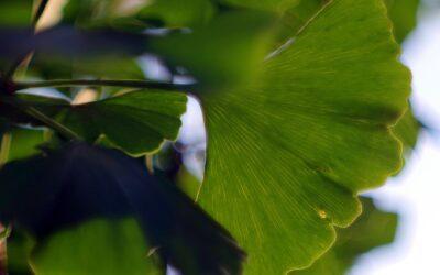 Der wundersame Ginkgobaum und seine Wichtigkeit in der Pflanzenheilkunde