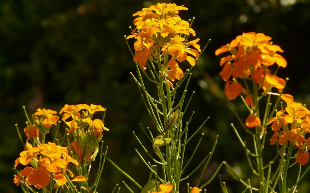 Die wundersame Heilpflanze: Goldlack