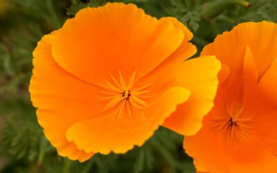 Die goldene Heilpflanze: der kalifornische Mohn
