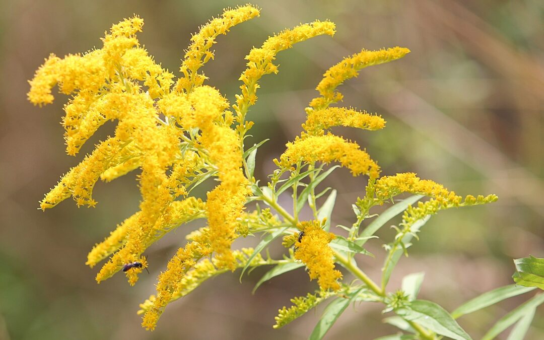 L'importanza della verga d'oro nella fitoterapia