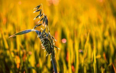 Das gesunde Getreide: der Hafer