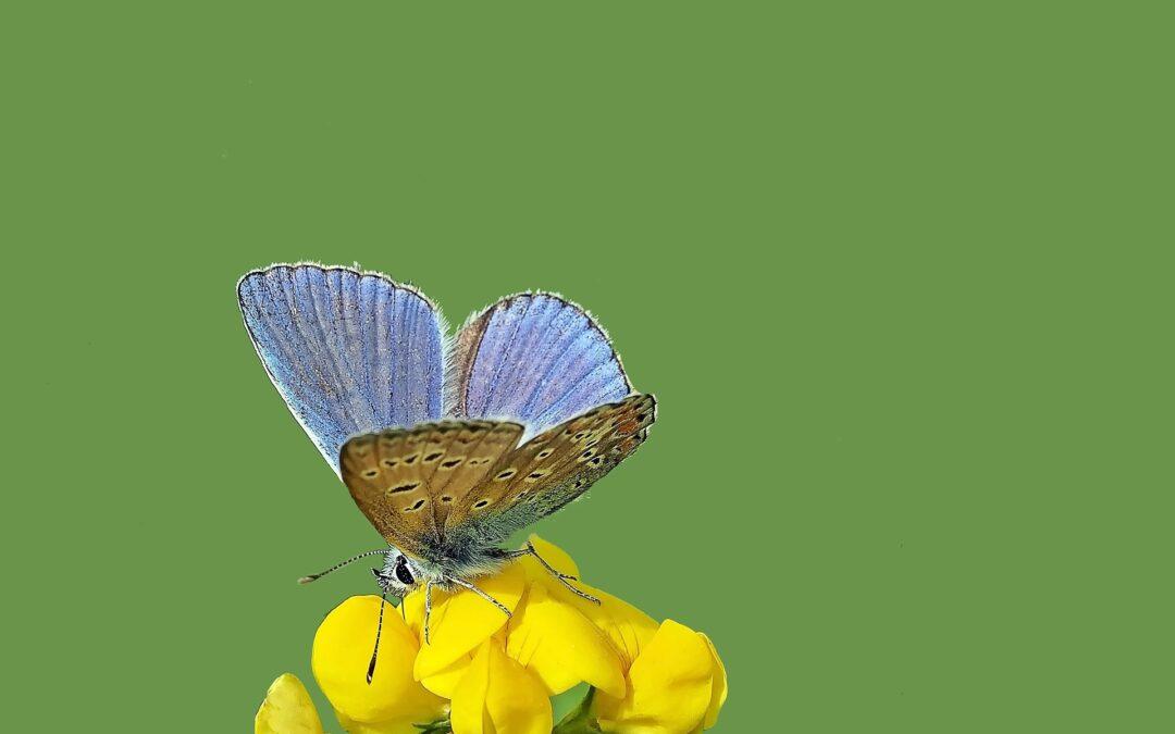 Die wunderbare Heilpflanze: Hauhechel